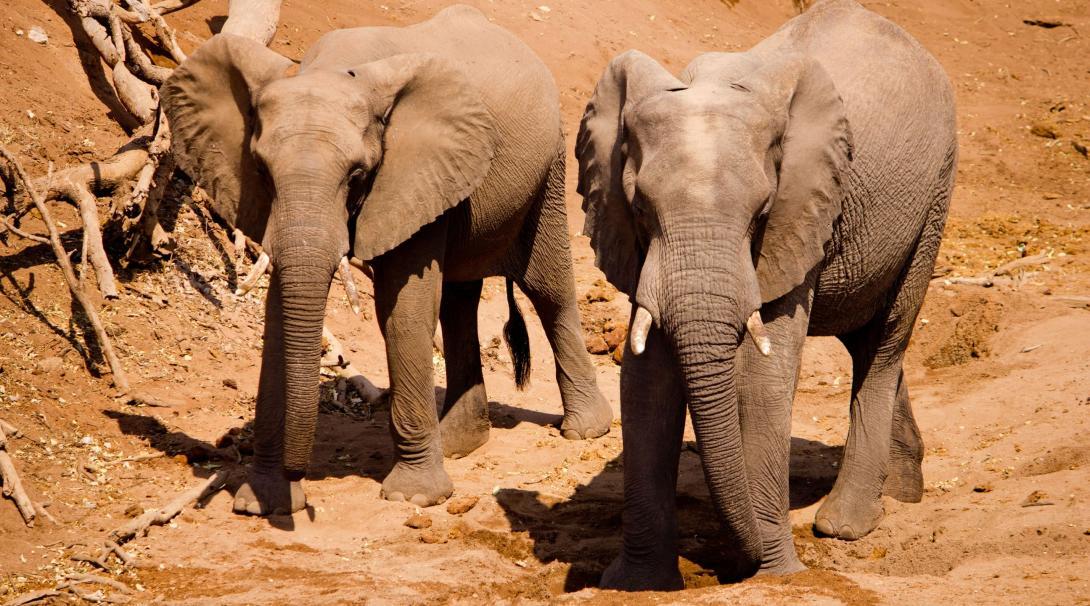 Två elefanter går i vilddjursreservatet där volontärer arbetar i Botswana, Afrika.